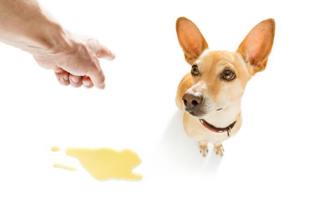 hund pinkeln urin auf dem boden - durchfall beim hund stock-fotos und bilder