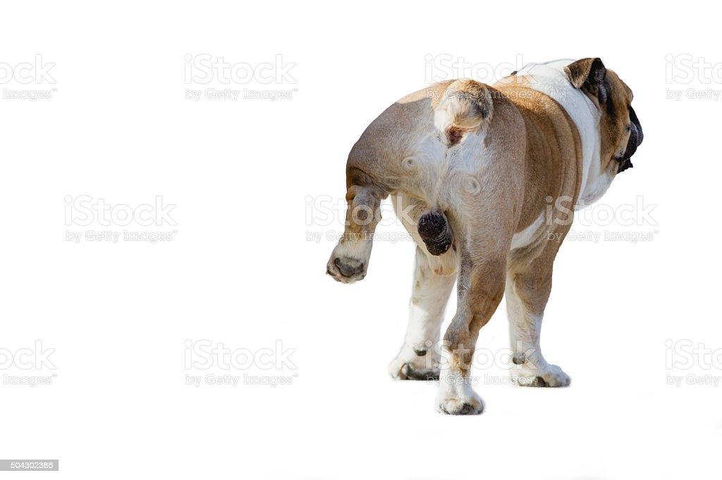 Dog peeing stock photo