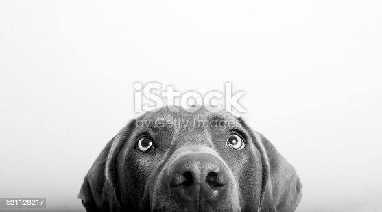 Half a curious dog's head on white background.  Shot in studio.