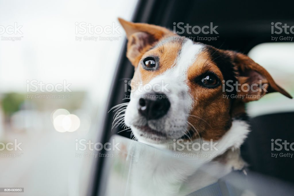 Dog peeking in from the open window of the car. stock photo