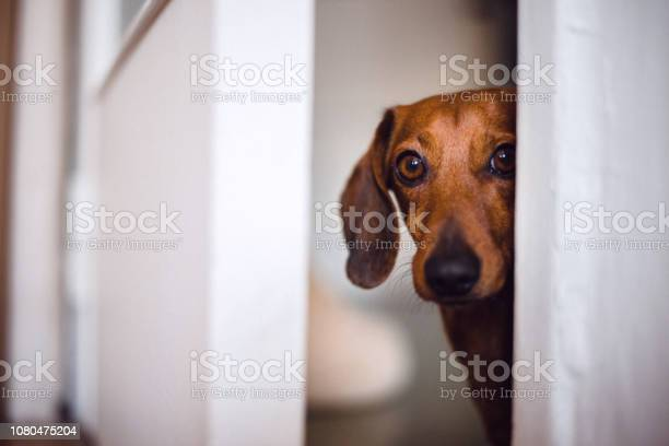 Dog peeking picture id1080475204?b=1&k=6&m=1080475204&s=612x612&h=niqnheved8rgkky4l4v ocopcn4sst1ftbcwxwn1ppw=
