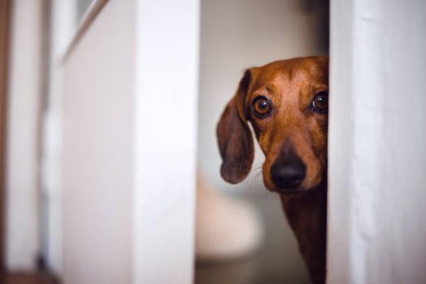 Dog peeking picture id1080475204?b=1&k=6&m=1080475204&s=612x612&w=0&h=pbkudwwv0skp6lx9umfi 4rlu8bogztfwiks rqgste=