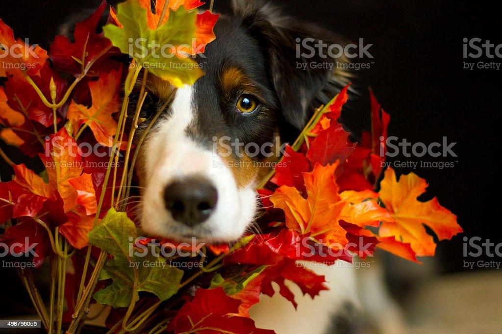 Dog Peeking through fall leaves stock photo