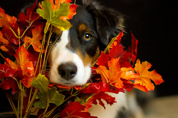 Dog Peeking through fall leaves stock photo