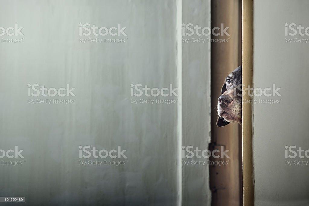 Dog peering through crack between door and wall stock photo