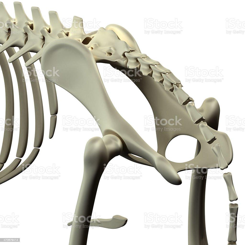 Hund Knochen Im Beckenbereich Hüfte Anatomiehund Knochen Im ...