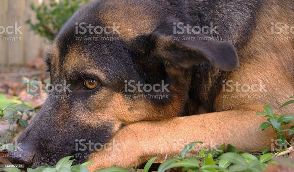 dog pensive royalty-free stock photo