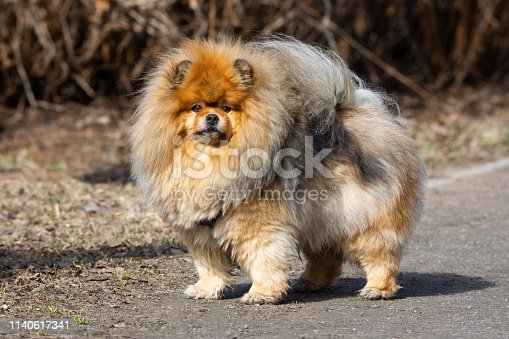 red chow chow dog outdoors in spring