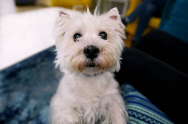 Dog photo shoot at home. Pet portrait of cute West Highland White Terrier dog enjoying and resting in living room indoor. Happy Colin Westie Terrier a very good looking dog posing in front of camera. stock photo