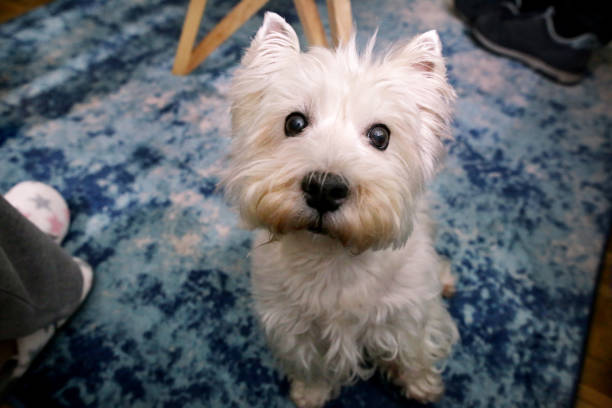 Dog photo shoot at home. Pet portrait of West Highland White Terrier dog enjoying and resting on floor and blue carpet at house. Colin Westie Terrier a very good looking dog posing in front of camera. stock photo