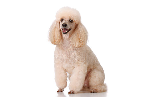 Dog MIniature poodle   on  white background. Very shallow DOF . THIS IMAGE IS ONLY AVAILABLE HERE AT ISTOCKPHOTO poodle stock pictures, royalty-free photos & images