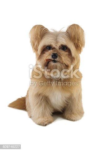 istock Dog 529745227