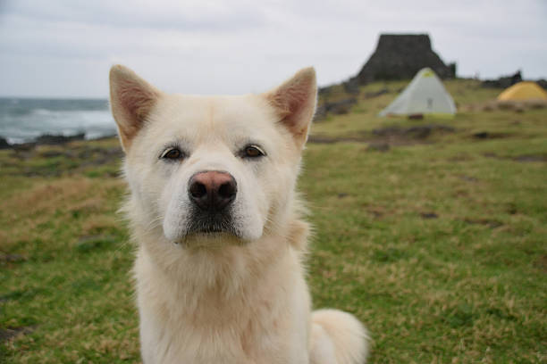 dog - jeju island stock photos and pictures