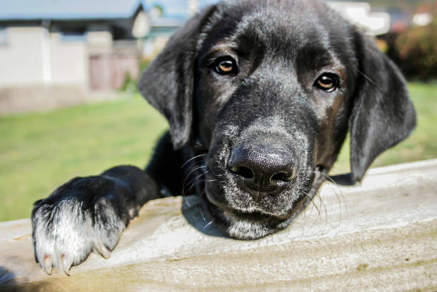 Dog Black Labrador Retriever face, look over the fence, selective focus war effort stock pictures, royalty-free photos & images