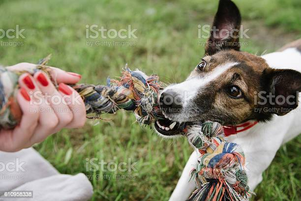 Dog play with rope picture id610958338?b=1&k=6&m=610958338&s=612x612&h=hmig4uu811er2pmugh7g0vawu9iv9offer 1v8ebwpg=