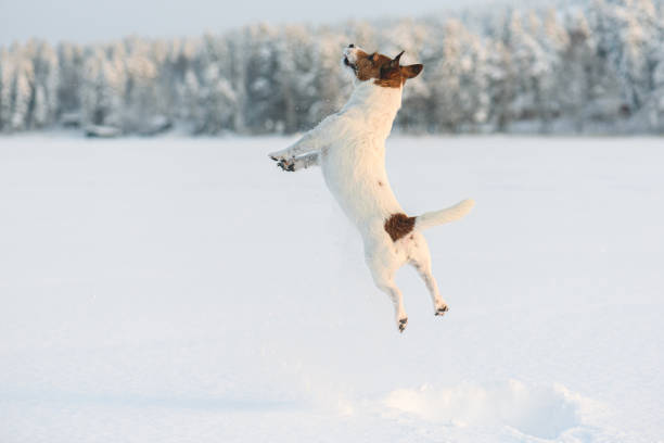 Dog playing and jumping high with snow splashes on frozen lake picture id1178352379?b=1&k=6&m=1178352379&s=612x612&w=0&h=jxc5igvuea1m4st0orqq wgujolch25x prsdbo1t70=