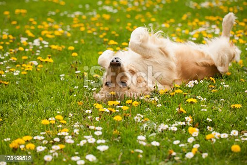Golden retriever playing in the grass