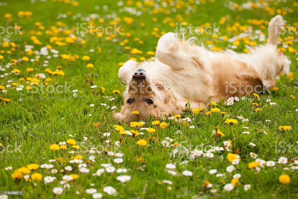 Dog playing and laying on his back in a field stock photo