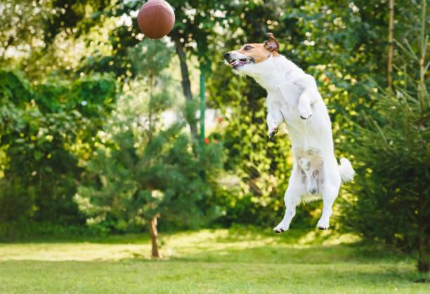 Dog playing at backyard jumping and catching rugby ball picture id1149531692?b=1&k=6&m=1149531692&s=612x612&w=0&h=c73t 1dhnh40274qrwzfvcj6md10bq8ov kbbfk2jpy=