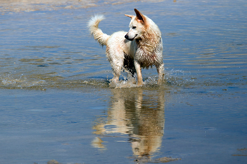 531058808 istock photo Dog playing at the beach 1040375546