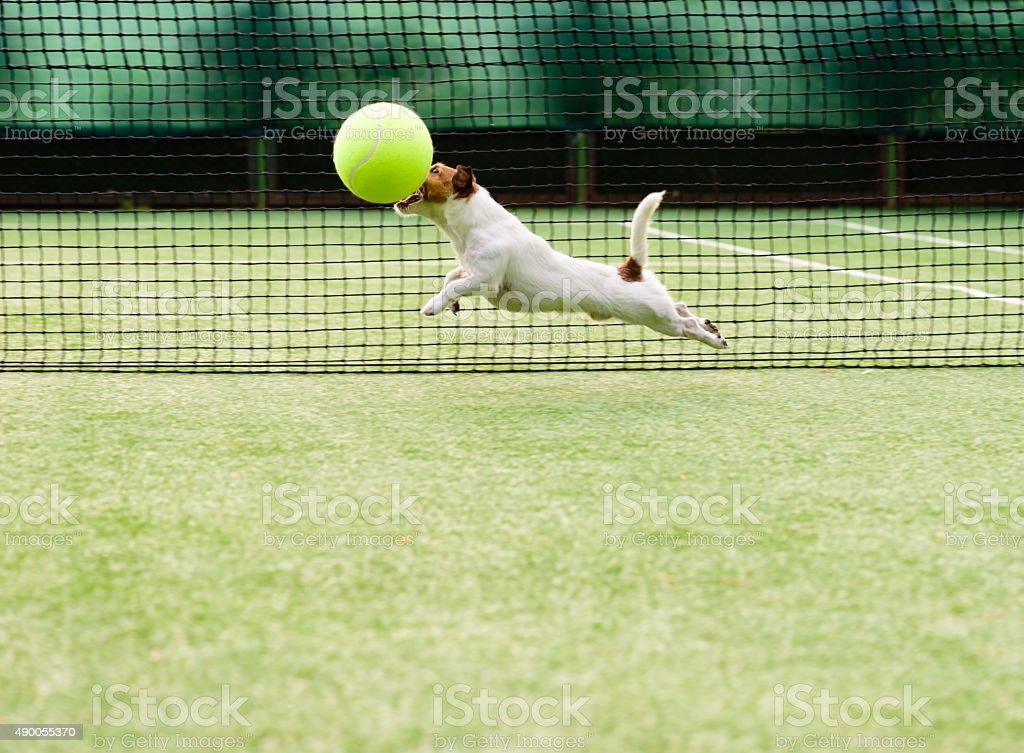 Dog playing big tennis ball stock photo
