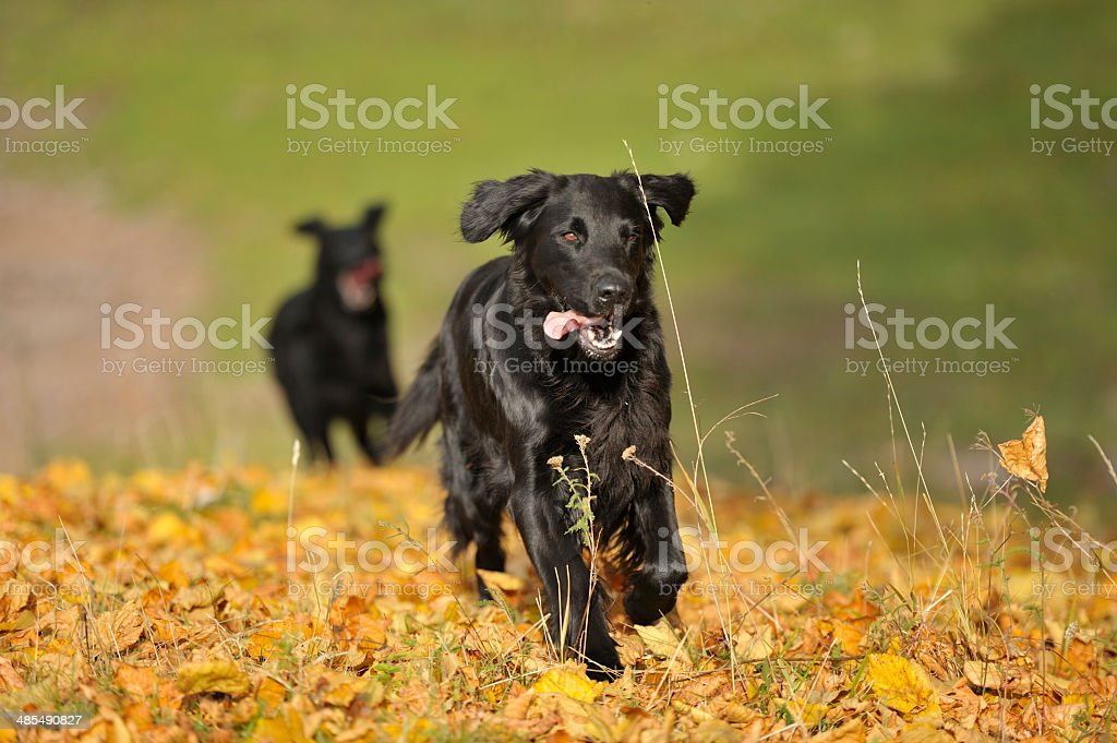 Dog playing chasing game royalty-free stock photo