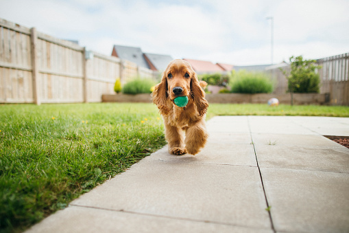 A front-view shot of a cute fluffy cocker spaniel dog playing in the garden, he is walking across the grass and holding a small ball in his mouth.