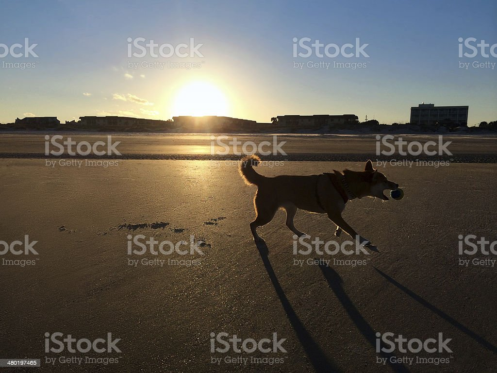 Dog playing fetch stock photo