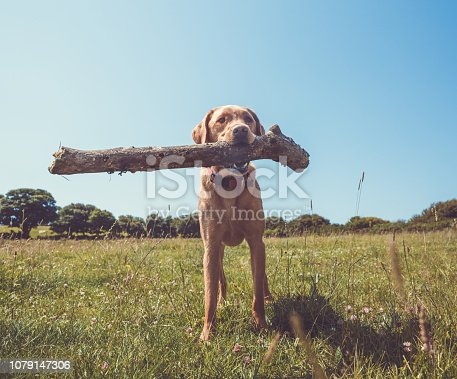 A healthy and active yellow labrador retriever dog standing in a grassy field in the countryside with a large stick in it's mouth during a game of fetch