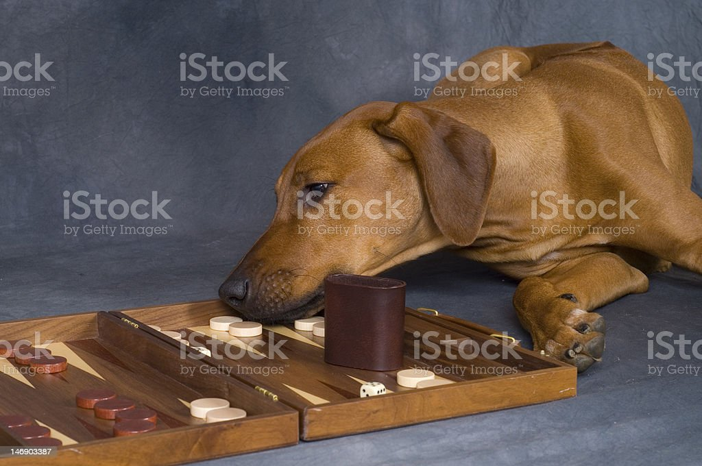 dog playing game royalty-free stock photo