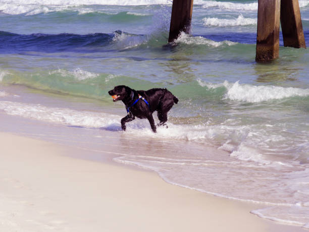 Dog playing in Ocean stock photo