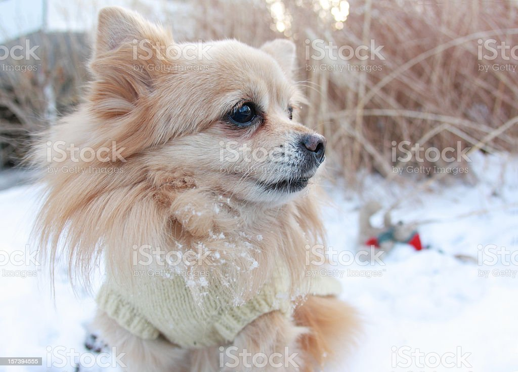 Dog playing in snow royalty-free stock photo