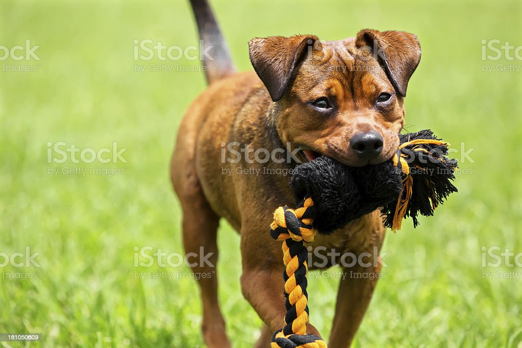 Dog playing in the park with a chew toy. royalty-free stock photo