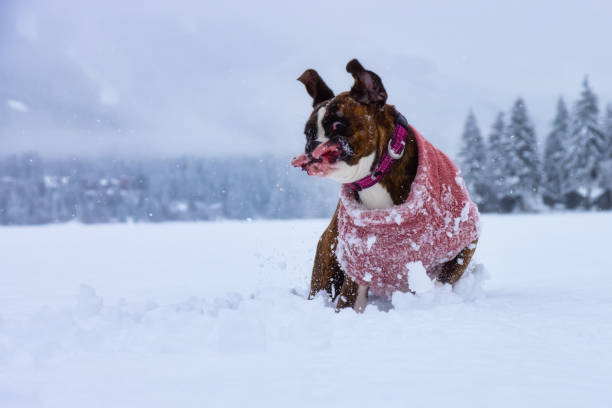 Dog playing in the snow Adorable Boxer Dog playing in a snow covered frozen lake during winter time. Alta Lake, Whistler, British Columbia, Canada.