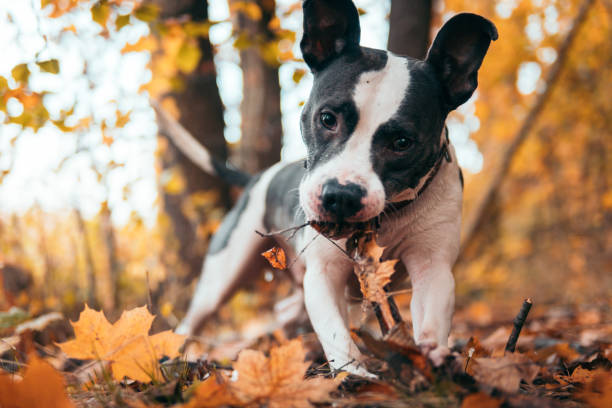 Dog playing in the woods among the leaves stock photo