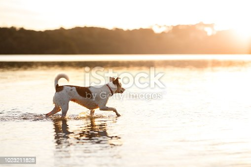 Cute mutt dog playing in water at sunset