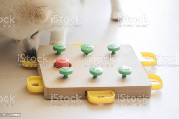 Dog playing intellectual game training game for dogs picture id1217885838?b=1&k=6&m=1217885838&s=612x612&h=phzw jdmc2trpdqpv030u6zm8n3lf4bjgosbkxb2qm0=