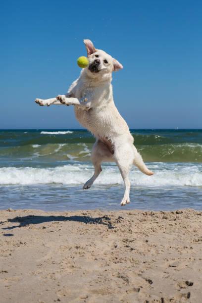 Dog playing on the beach picture id801299822?b=1&k=6&m=801299822&s=612x612&w=0&h=oie2xjwjoipadjbtwoo kn51wnkqdvujfqcx6zjgrnk=