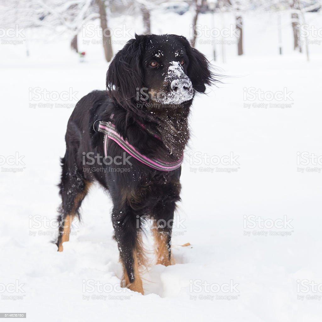 Hund spielen draußen im kalten Schnee. – Foto