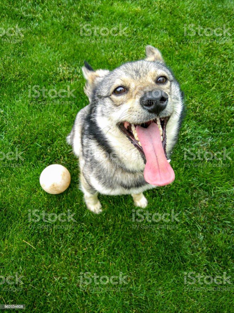 Dog playing outside smiles - Royalty-free Animal Stock Photo