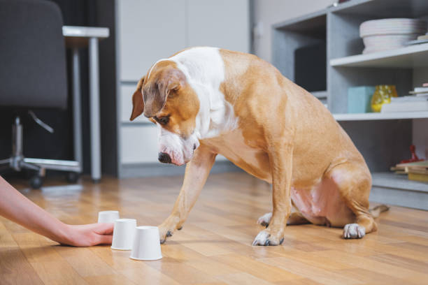 Dog playing the shell game with her human. Concept of training pets, domestic dogs being smart and educated dog games