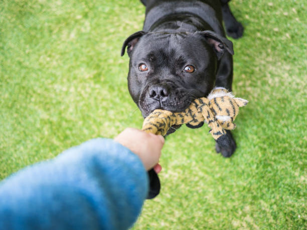 Dog playing tug with a toy on artifical grass stock photo