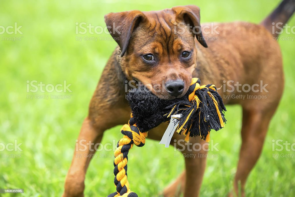 Dog playing with a chew toy in the park royalty-free stock photo