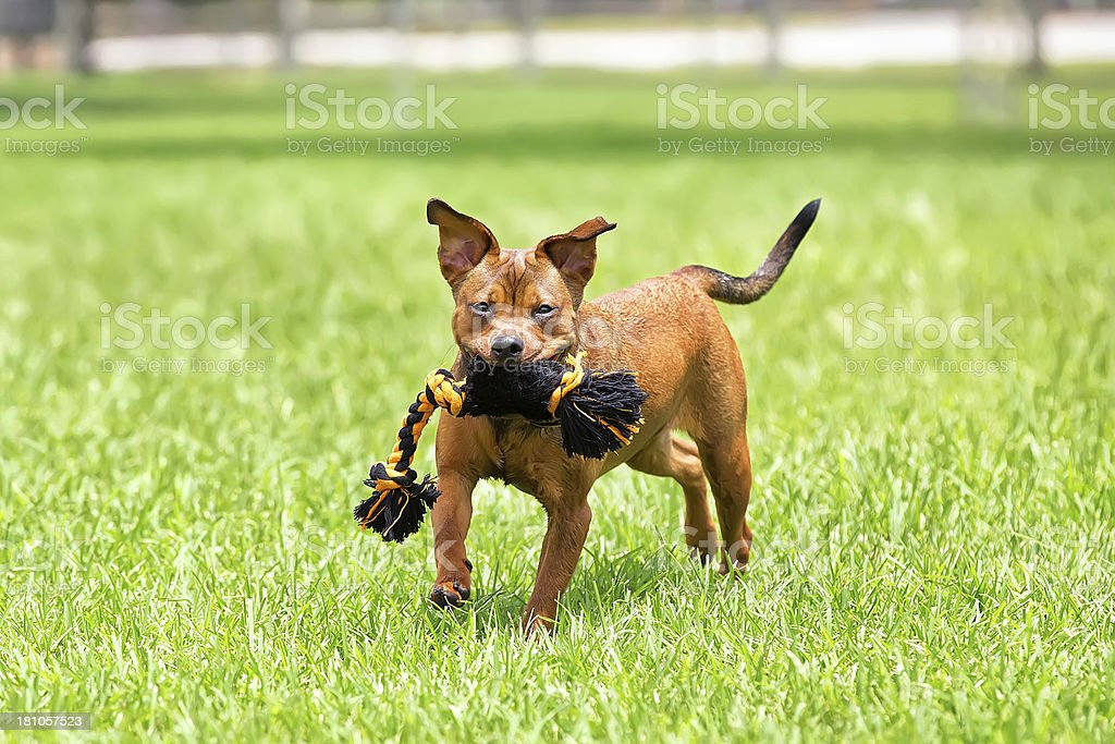 Dog Playing with a Rope Toy royalty-free stock photo