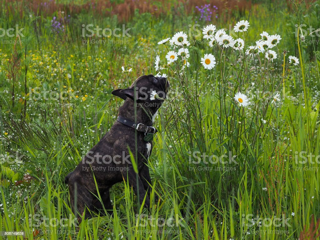 Dog playing with chamomile flowers stock photo