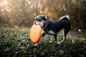 Small mutt dog playing with frisbee disc