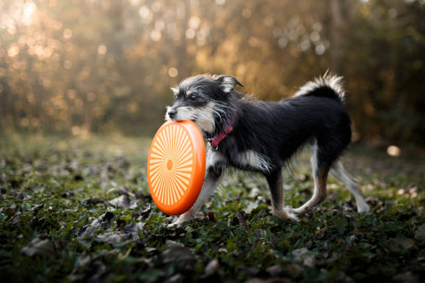 Dog playing with frisbee disc Small mutt dog playing with frisbee disc mixed breed dog stock pictures, royalty-free photos & images