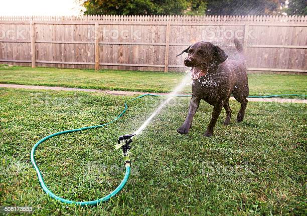 Dog playing with sprinkler picture id508173533?b=1&k=6&m=508173533&s=612x612&h=xoyc7wtdd2odahbibes8eap0k i0a6oovkngchciipq=