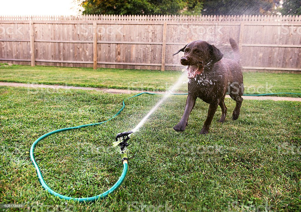 Dog playing with Sprinkler stock photo
