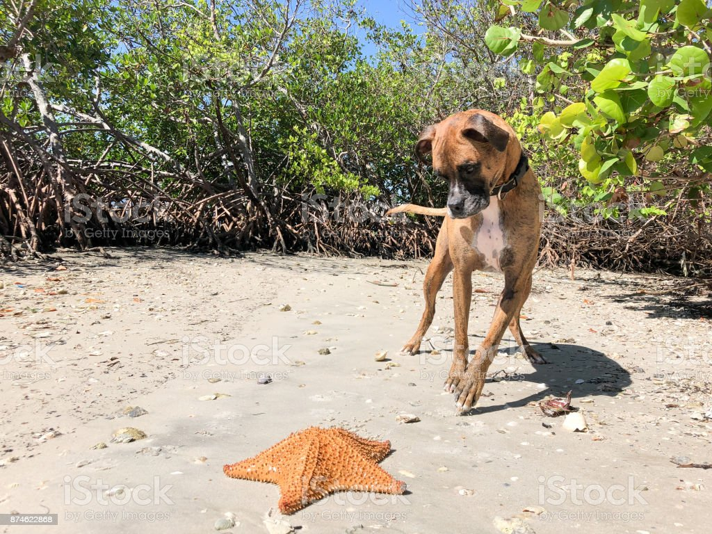 dog playing with starfish (sand Star) on the sand stock photo